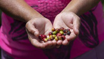 Heifer International จับมือ IBM เพิ่มการเข้าถึงข้อมูลและช่องทางตลาดโลกให้เกษตรกรไร่กาแฟและโกโก้ในฮอนดูรัส